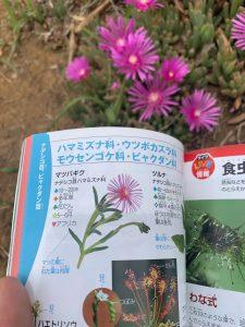 松葉菊‐晴海臨海公園水辺のテラス5月